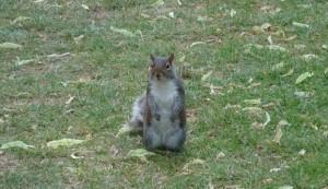 Eichhörnchen Hyde Park